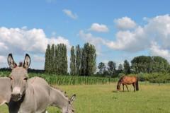 spandoek-ezels